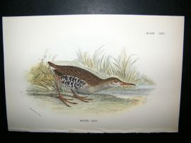 Allen 1890's Antique Bird Print. Water Rail